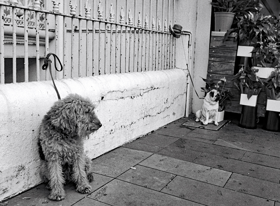 A black and white photograph of two dogs tied to a railing - six feet apart.