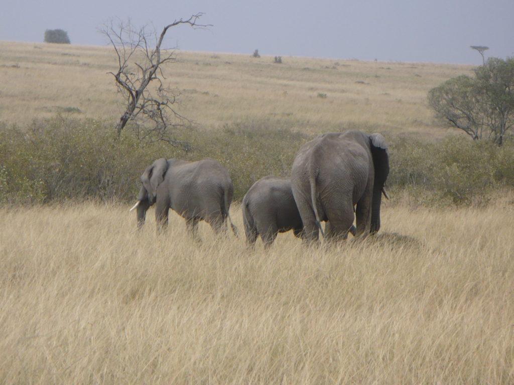 Three elephant walking in long grass in Kenya