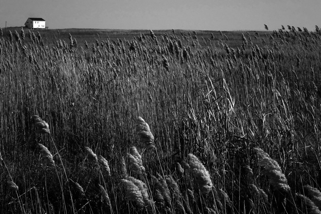 A black and white photograph of a field of wheat with a small house in the far left  corner