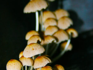 A cluster of many mushrooms against a plain dark background. The mushrooms in the foreground are in focus.