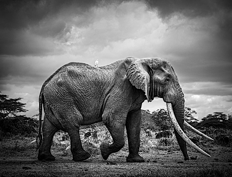 Black and White profile photograph of a wrinkly elephant with long tusks
