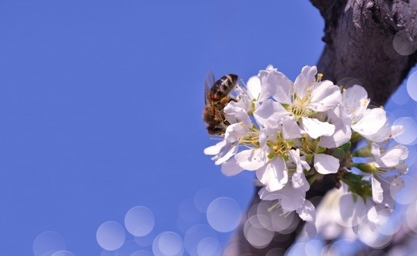 blossoms on a branch with  a bee on the flower with a bright blue sky in